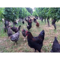 des poules et des vignes