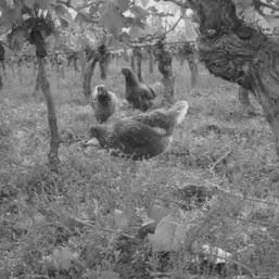 Poulet des vignes (à rôtir)